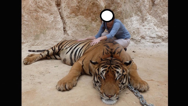 Tiger-selfie
