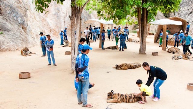 tiger-temple-cubs
